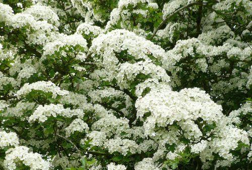 May Bloom 2